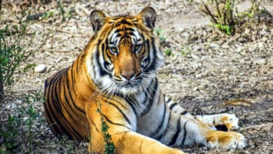 Photo of Telangana's Amrabad Tiger Reserve vulnerable to habitat degradation