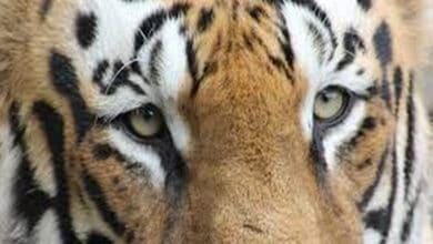 Photo of Tigress found dead in UP's Dudhwa buffer zone