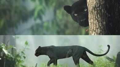 Photo of Black Panther spotted in Karnataka