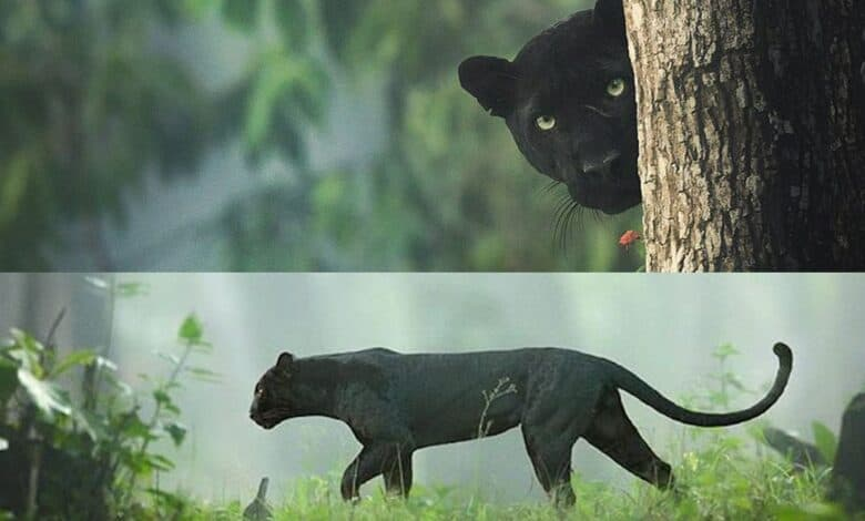 Black Panther spotted in Karnataka
