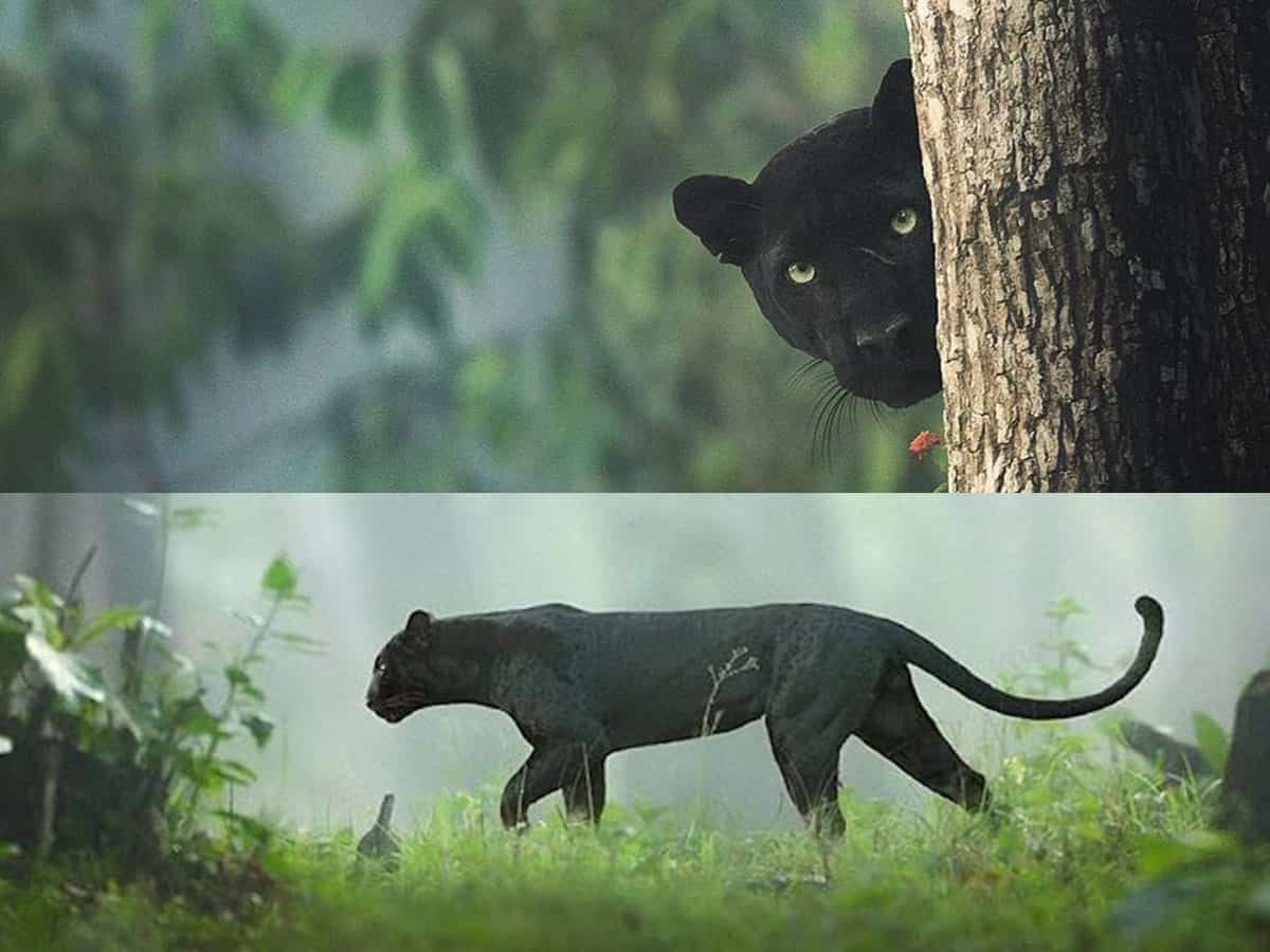 Black Panther spotted in Karnataka
