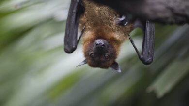 Photo of Why COVID-19 virus is not killing bats or making them sick