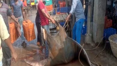Photo of Giant Devil Ray weighing 600 kgs caught in West Bengal