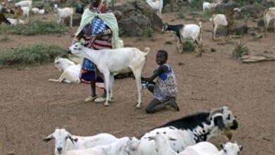 Photo of Male goat produces milk due to hormonal imbalances