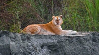 Photo of Photos of India's only golden tiger go viral