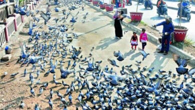 Photo of Feeding pigeons triggers menace, GHMC must ban it: Experts