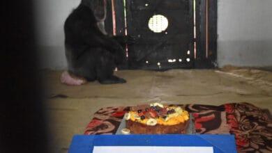 Photo of Hyderabad Zoo's chimp 'Suzi' celebrates 34th birthday