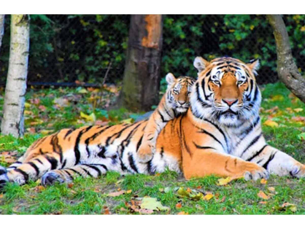 international tigers day
