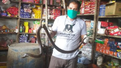 Photo of Cobra slithers into grocery store in Agra, rescued