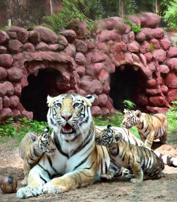 Hyderabad Zoo names tiger cub after Col Santosh Babu