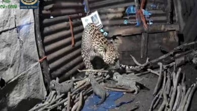 Photo of Leopardess takes shelter in unused house along with cubs