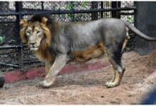 Photo of World Lion Day: Nehru Zoological Park holds online art competition