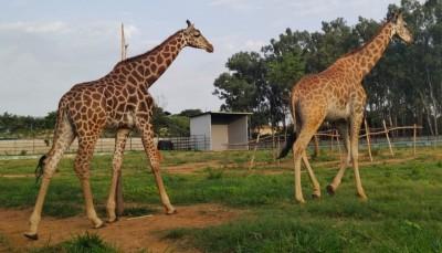 Stork visits Bengaluru Zoo again
