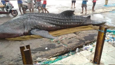 Photo of Mumbai fishermen find giant whale shark in net, probe ordered