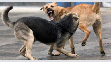 Photo of Stray dogs maul 10-year-old to death