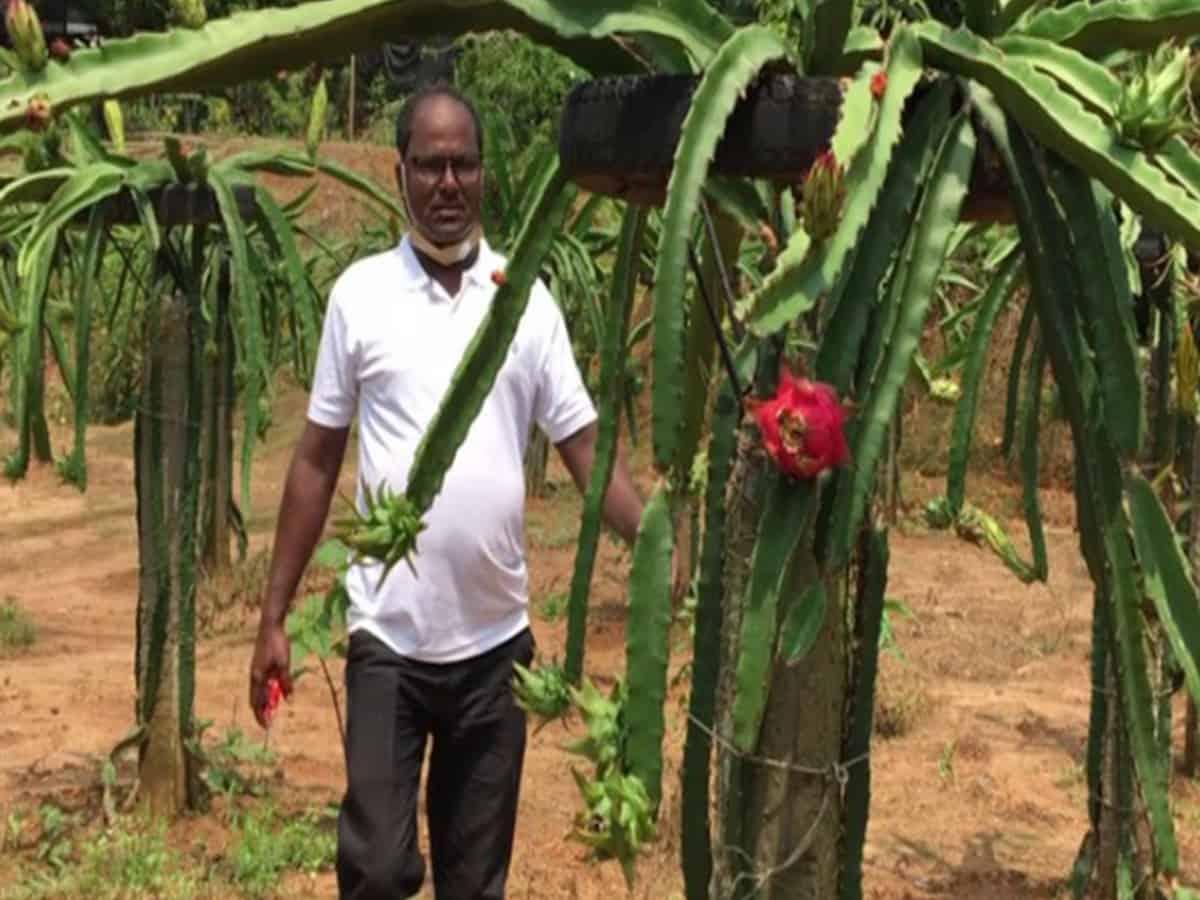 Tripura horticulturist cultivates dragon fruit, sells at Rs 400/kg