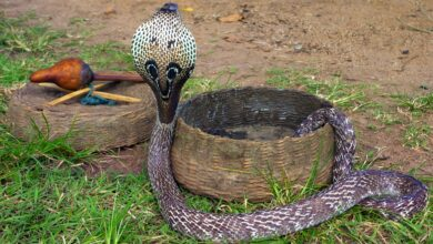 Photo of Deadly cobra comes home for dinner!