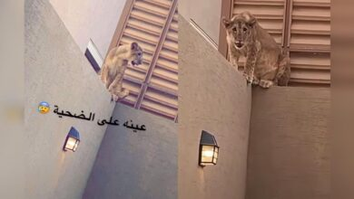 Lion appears in Saudi home as family prepares for sacrifice