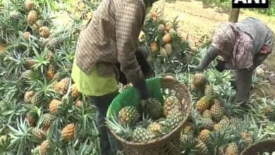 Photo of Nagaland pineapple farmers face tough times due to COVID-19