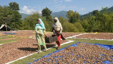 Photo of Walnuts sun-dried in Kashmir's current harvesting season
