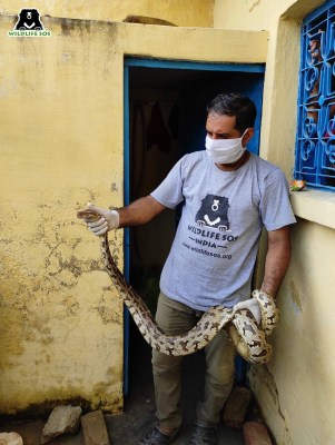 6-ft-long Indian rock python rescued from sewage pipe in Agra