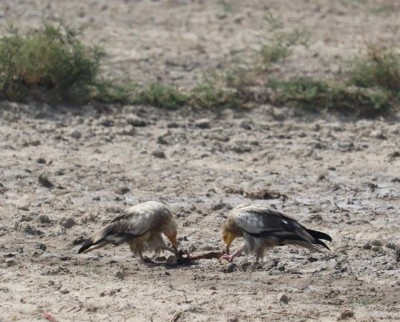 Green activists call for saving vultures from extinction
