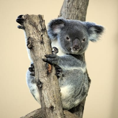Koala protection bill splits Australian state govt