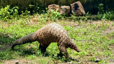 Photo of Pangolin wildlife poaching racket busted in Adilabad