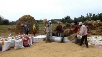 Photo of Paddy harvesting in full swing amidst corona in Kashmir