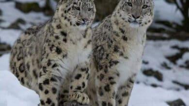 Rare snow leopards spotted in Uttarkashi's Gangotri National Park