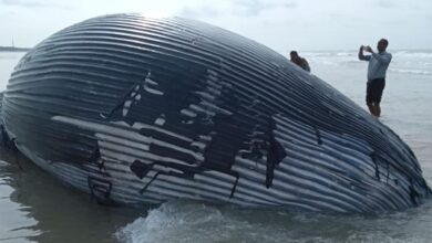 Photo of Stranded whales in Australia to be euthanised