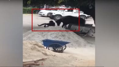 Photo of UP: Buffalo goes wild, attacks inspector; video goes viral