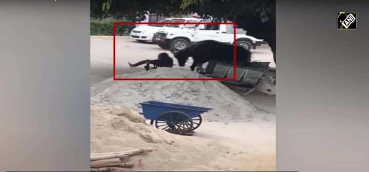 buffalo attacks cop