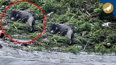 Photo of Hyderabad: Crocodile spotted in Musi river