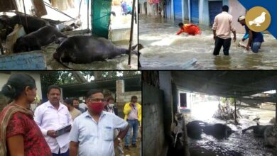 Photo of Hyderabad Floods: Many buffaloes dead in Al jubail colony