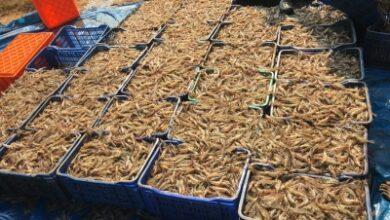Photo of Covid ravages aquaculture farmers in Andhra's Godavari region