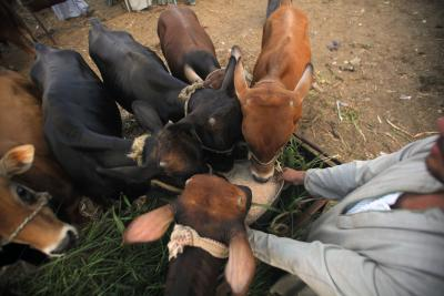 Cows prefer 'live' communication with humans: Study