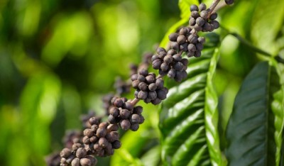 GI tag for 5 Indian coffee beans to boost exports