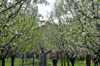 Good news for J&K apples growers: Last season's procurement scheme extended