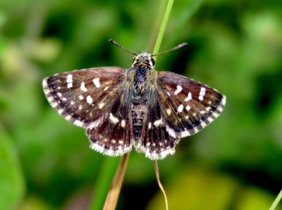 India's 1328th butterfly species found in Rajasthan