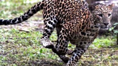 Photo of 8-year-old boy injured in leopard attack in Uttarakhand