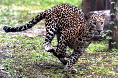 Leopard spotted in NTPC premises in Greater Noida, searches on