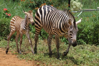 Zebra foal born in Bengaluru zoo amid Covid