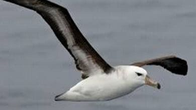 Photo of South Pacific seabirds facing a major threat from plastic: Study