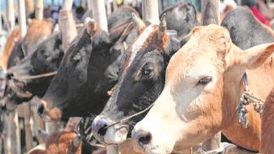 Photo of UP's cow slaughter act being misused against innocent persons: HC