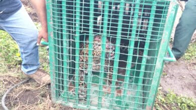 Photo of Hyderabad: Elusive leopard trapped in Rajendra Nagar