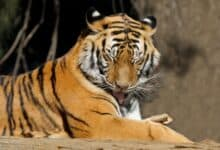 Photo of Over 8,000 tigers being farmed in China for body parts: IFS officer