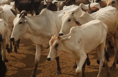 Cows worshipped on 'Gopashtami' in Braj Mandal