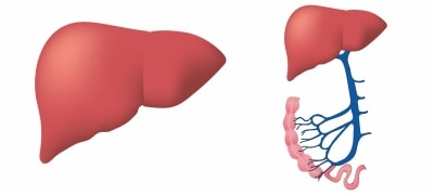 Dietary supplement may help in treatment of fatty liver: Study