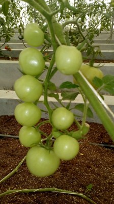 For Himachal farmers tomatoes are 'apple of their eyes'
